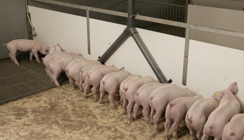 Exel stallenbouw: stalinrichting varkensstallen